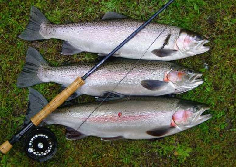 Three Rainbow trout 2 1 0